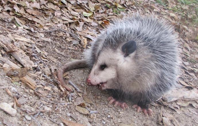 BR possum 1